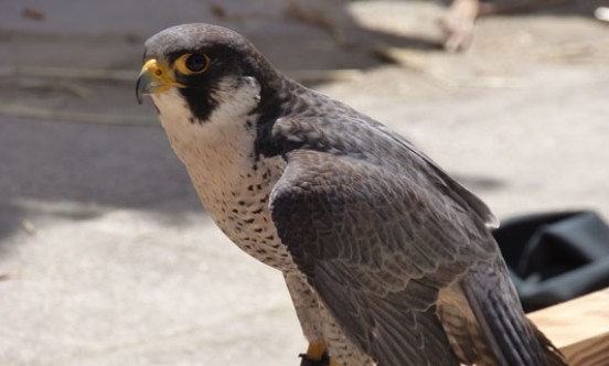 peregrine outside