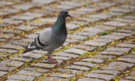 Rock Dove Feral Pigeon